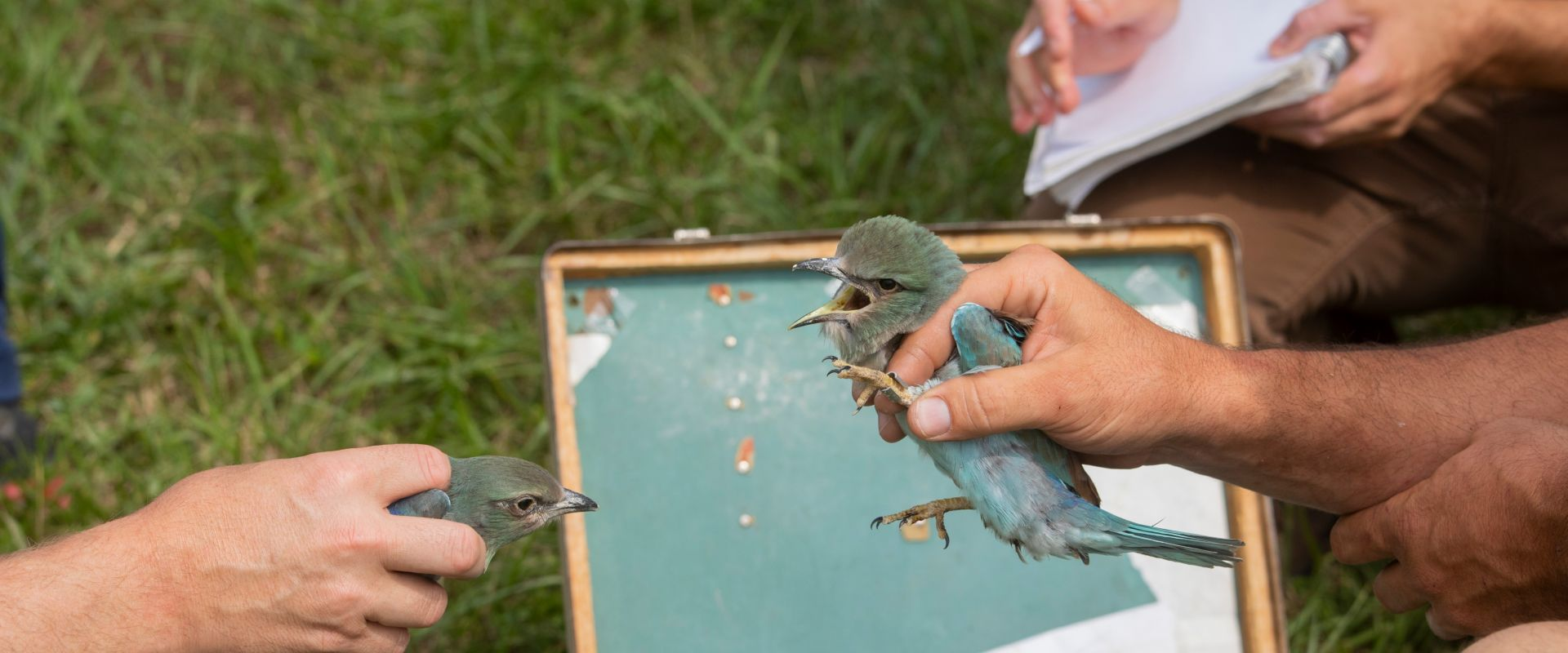Conservation of the European Roller in Serbia